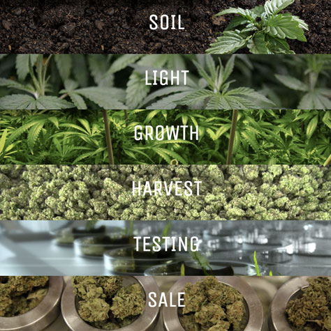 Steps Of Growing Cannabis